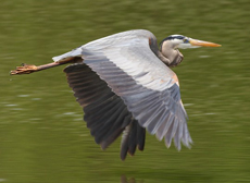 photo of a Heron in flight