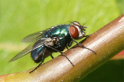 photo of a Blubeottle fly